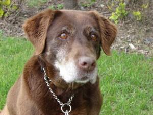 сколько лет живут собаки +в домашних условиях
