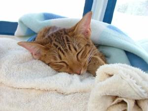 кот умирает признаки (и симптомы