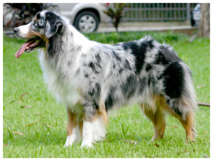 australianshepherd01