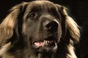 видеть +во сне большую собаку